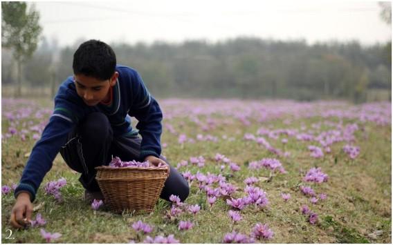 Saffron being picked in Kashmir