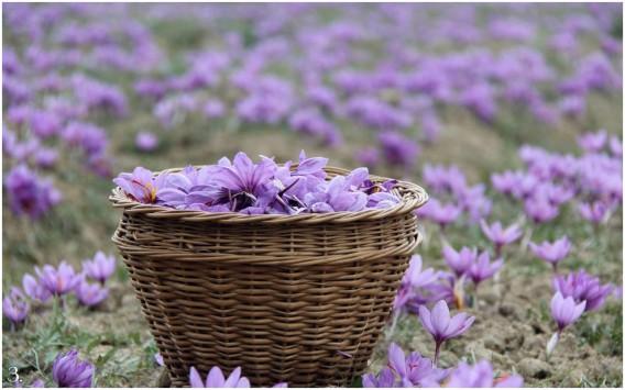 Saffrom blooms in Kashmir