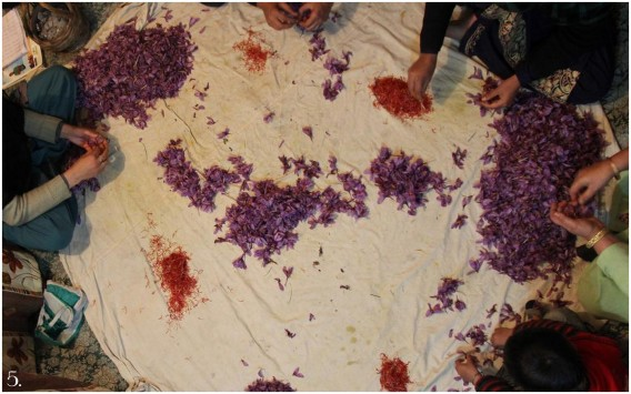 Saffron being picked and arranged in Kashmir