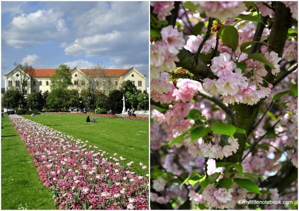 Zagreb in spring, pink cherry flowers