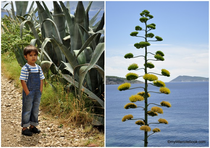 little boy exploring flora on Vis island