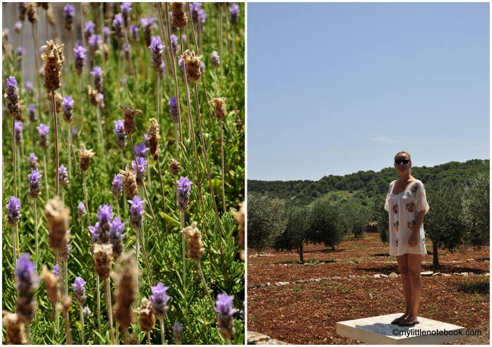 in the fields of olive trees and lavander