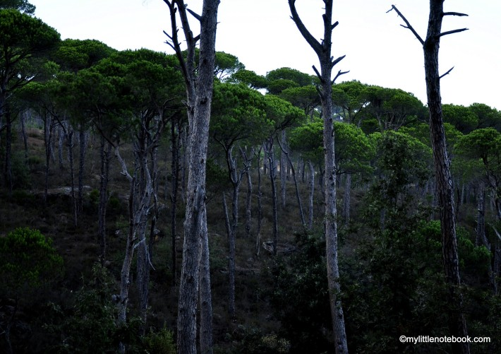 pine forest in Lebanon