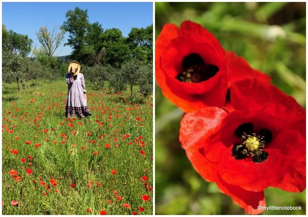 red poppy flower in provence