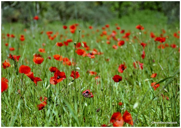 wild flowers and poppies
